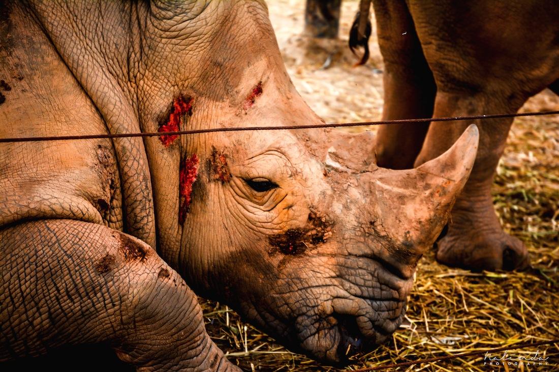 Hurt Rhino