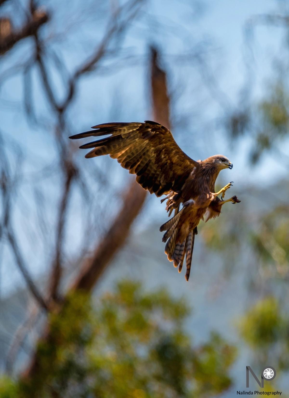 Eagle mid flight