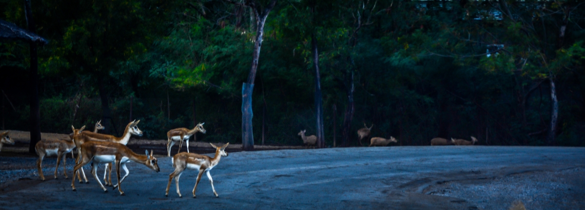 Deers crossing the road