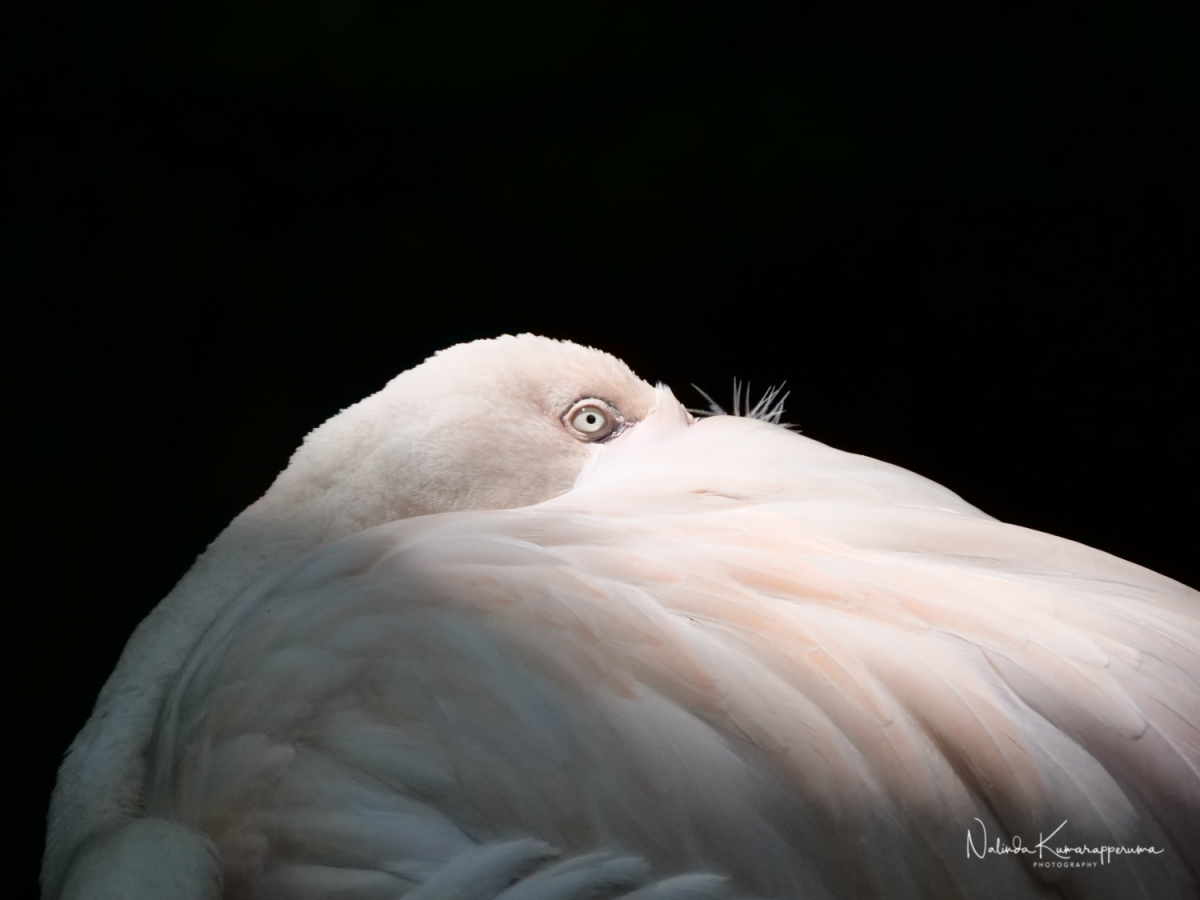 Eye of the flamingo