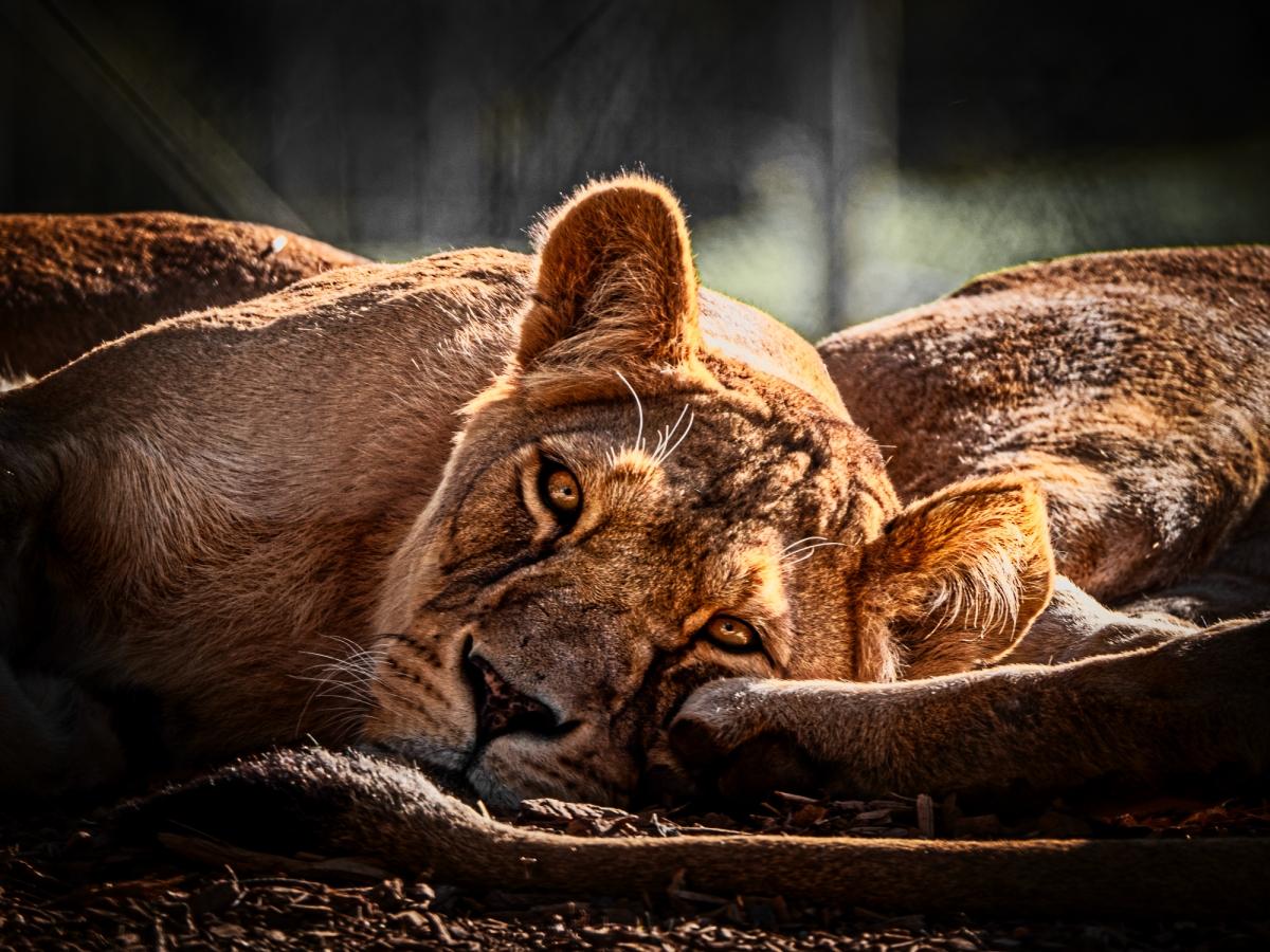Lioness looking into mylens